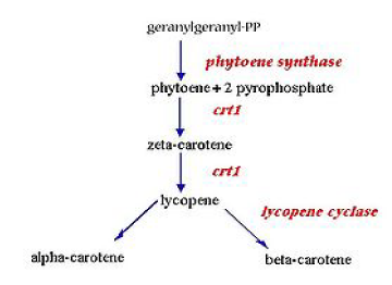 Figure 7  Process flow diagram for development of golden rice Golden Rice Diagram