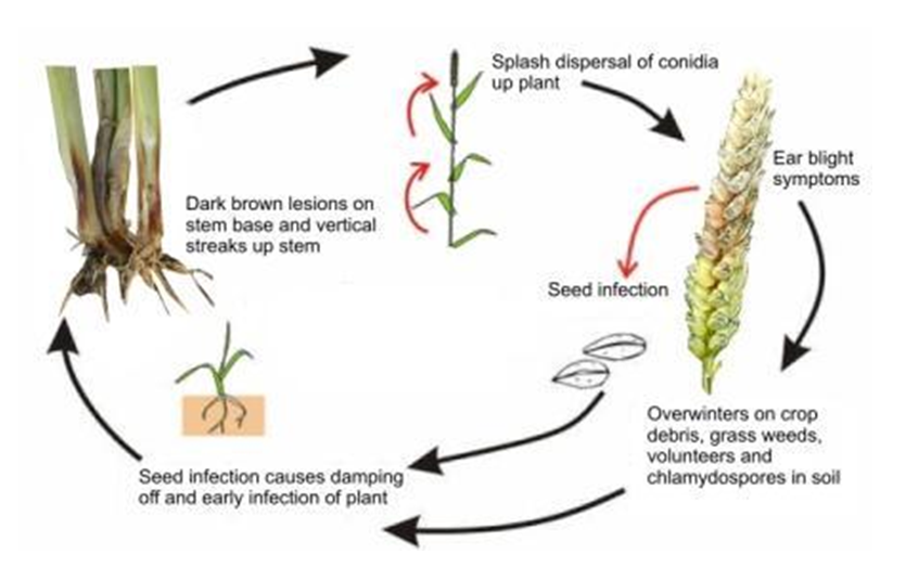 anthesis-to-silking interval Genetic analysis of heat adaptive traits in tropical maize (zea mays l)  anthesis to silking interval (asi) was calculated by subtracting the number of days.