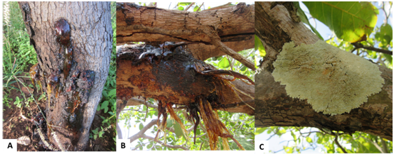 A Manual of Diseases of Eucalypts in South-East Asia