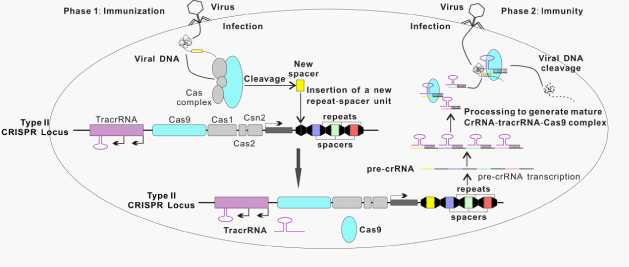 an argument in favor of biomedical research through the crispr cas system
