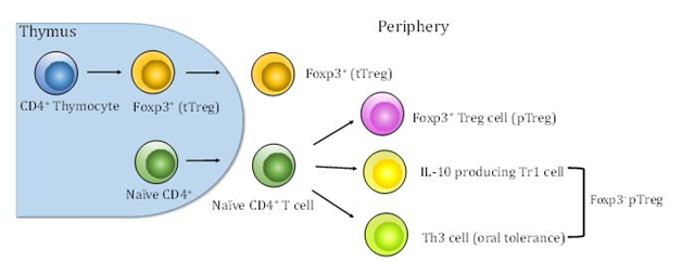 regulatory t cells in gynecologic cancer