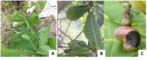 Diseases of cashew nut plants (Anacardium Occidentale L ) in