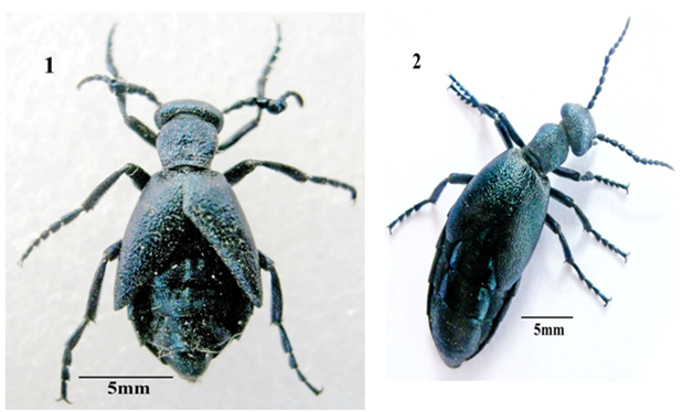 Redescription of the blister beetle Meloe semicoriaceus