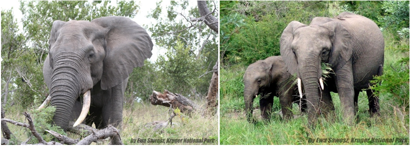 d27e6953be5a The future survival of African elephants  implications for conservation