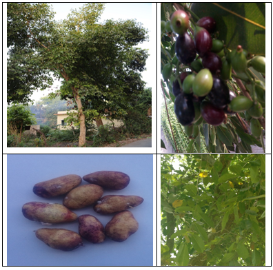 A review on the role of jamun, syzygium cumini skeels in the