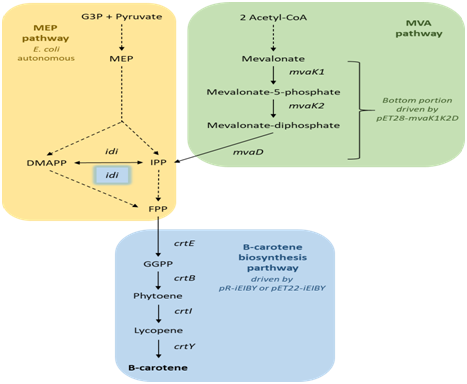 Enhanced β-carotene biosynthesis in recombinant Escherichia coli ...