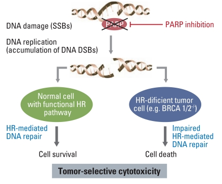 Update On Parp Inhibitor Therapy For Solid Tumors Bayraktar Journal Of Cancer Prevention Current Research