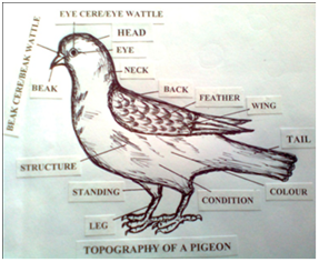 Necessary steps to establish a first-time pigeon farm