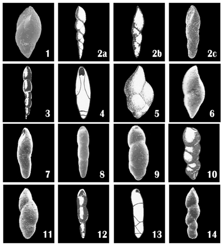 On the variability of benthic foraminiferal species of the